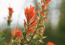 What Is the Fruit on the Scarlet Indian Paintbrush Plant?