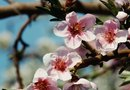 Cherry Blossom Tree & Japanese Beetles