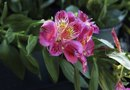 How to Care for Alstroemeria