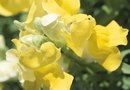 Do Snapdragons Prefer Acidic Soil?