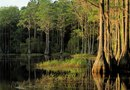 What Is the Growth Speed of the Bald Cypress?