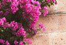 How to Cure Yellow Leaves on Bougainvillea