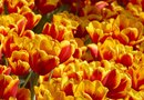 Are Tulips Perennials or Annuals?