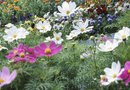 Common Diseases in Cosmos Flowers