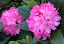 The Care of Rhododendrons