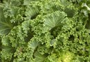 When Do You Harvest Kale?