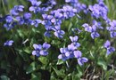 Information on Blue Violet Flowers