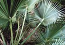 How to Care for a Saw Palmetto (Serenoa Repens) Plant