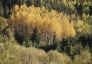 Quaking Aspen Tree Care