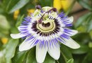 Types of Passionflower That Grow on Vines