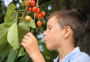 How to Plant Cherry Trees From Seed