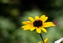 Growing Tips for Seeds of Black Eyed Susans