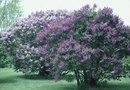How to Move Mature Lilac Plants