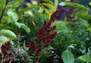 How Fast Does Sumac Grow?