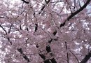 Yoshino Cherry Tree Colors