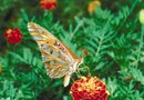 Will Lantana Come Back After a Freeze?