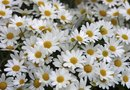 Are Daisies Good for Making Dried Flowers?