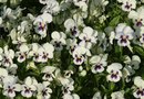 How to Grow Purple Pansies