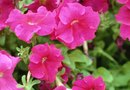 Wave Petunias Dying