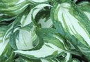 The Common Name for Hosta