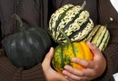 Does an Acorn Squash Ripen After It's Picked?