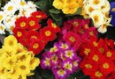 Do Primroses Only Bloom During the Daylight Hours?