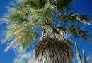 Do the Dead Fronds on Our Mexican Fan Palm Need to Be Removed?