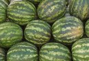 How Much Cold Can Watermelon Plants Take?