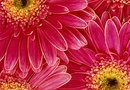 How to Winterize Gerber Daisies