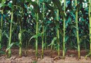 How Tall Do Corn Plants Get?