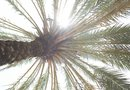 Pygmy Date Palm Maintenance