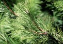 How to Use Pine Trees for Mulch