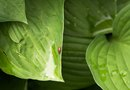 Causes of Yellow Leaves on Hostas
