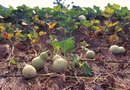 What Kind of Fertilizer Is Used to Plant Bottle Gourds?