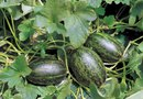 How to Grow Watermelons by Hanging Them