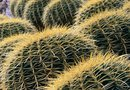 How to Plant & Care for Ferocactus