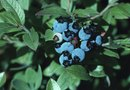 How to Feed Blueberry Bushes