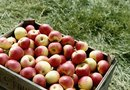 How to Grow Dwarf Apple Trees in a Whiskey Barrel