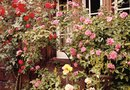 How to Fix Leggy Roses
