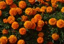 Marigold Flower Growth