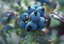 How to Plant and Grow Blueberry and Blackberry Bushes for Fruit
