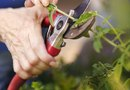 How to Trim Cotoneaster