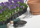 How to Keep Pansies in a Pot From Drooping