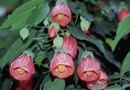 How to Plant Abutilon Thompsonii