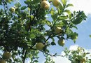 How to Fertilize Meyer Lemon Trees