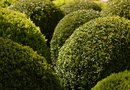 How to Plant Outdoor Topiaries