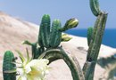 What Causes a Drooping Cactus?