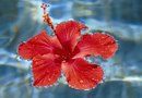 Care for a Hibiscus in the Autumn