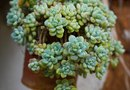 How to Keep Sedum From Falling Over