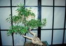 How to Bring a Bonsai in From the Wild